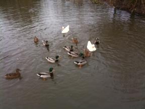 Welsh ducks